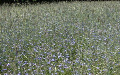 Abschluss von Bewirtschaftungsverträgen zum Schutz der Ackerbegleitflora