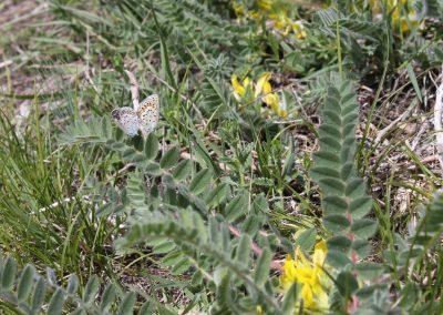 Spanischer Bläuling (Plebeius trappi) und Stängelloser Tragant (Astragalus exscapus)
