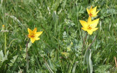 Erforschung der Törbjer Tulpe mit Hilfe der lokalen Bevölkerung