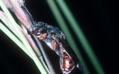 Sensationeller Nachweis einer äussert seltenen Wildbienenart